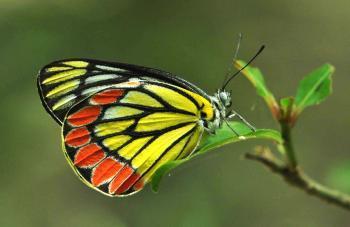 Белянка Pieridae