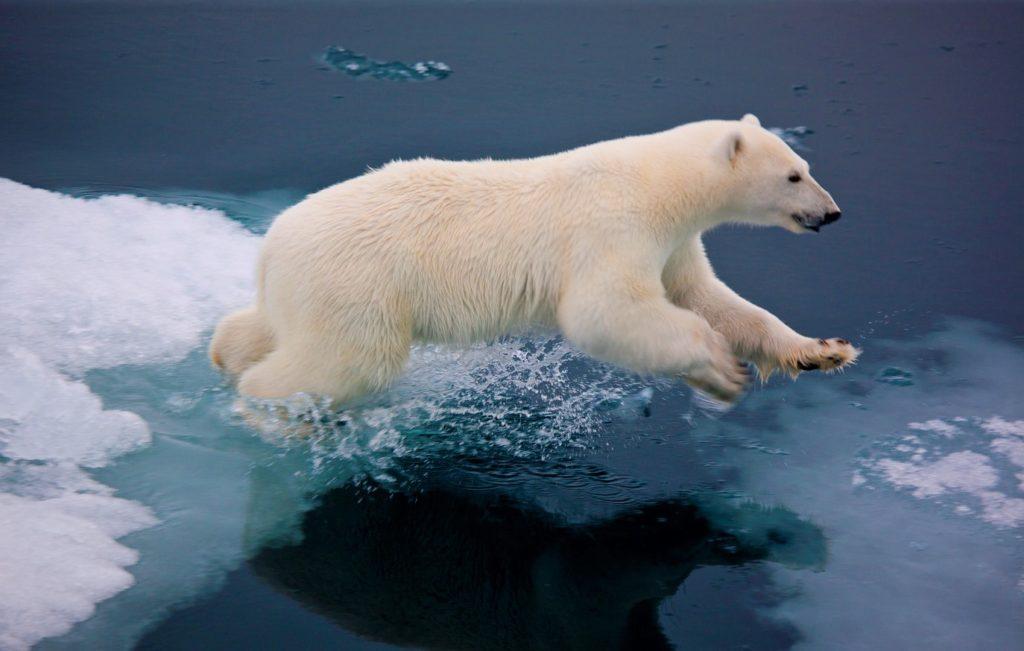 Белый медведь во время прыжка