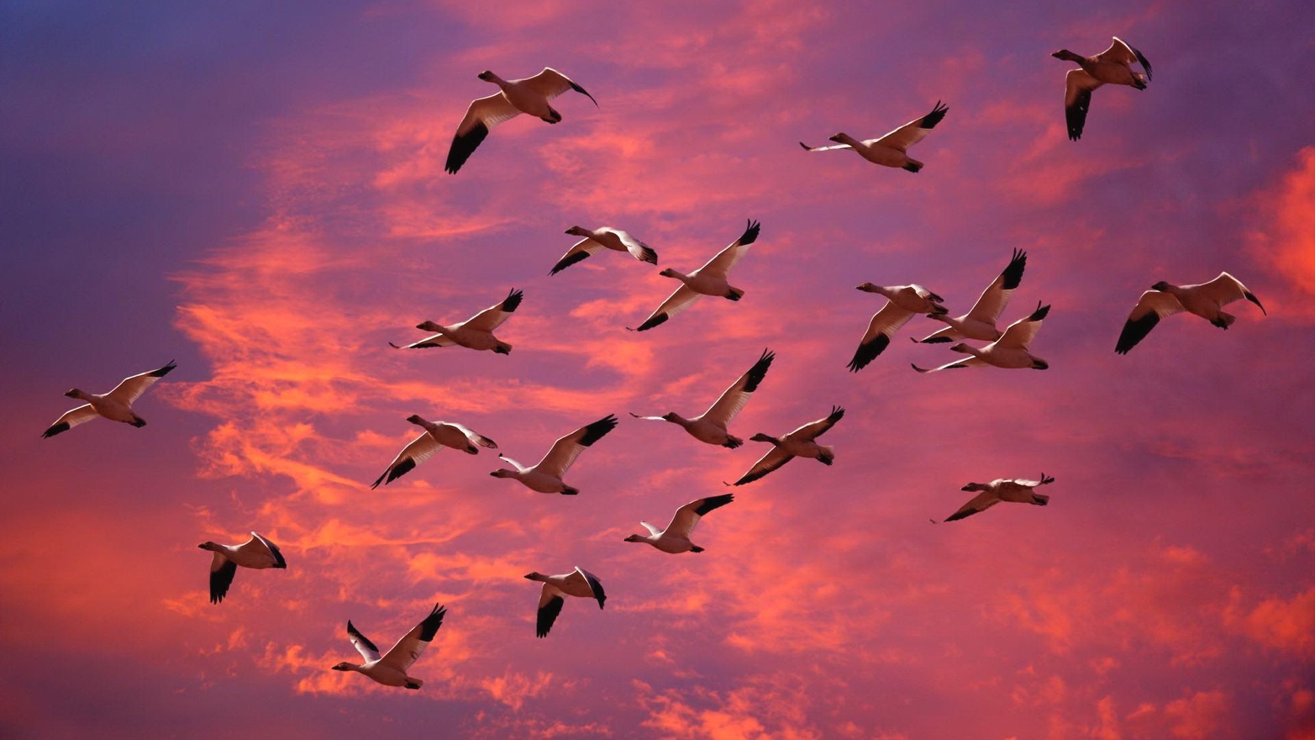 Когда лебеди улетают на юг осенью