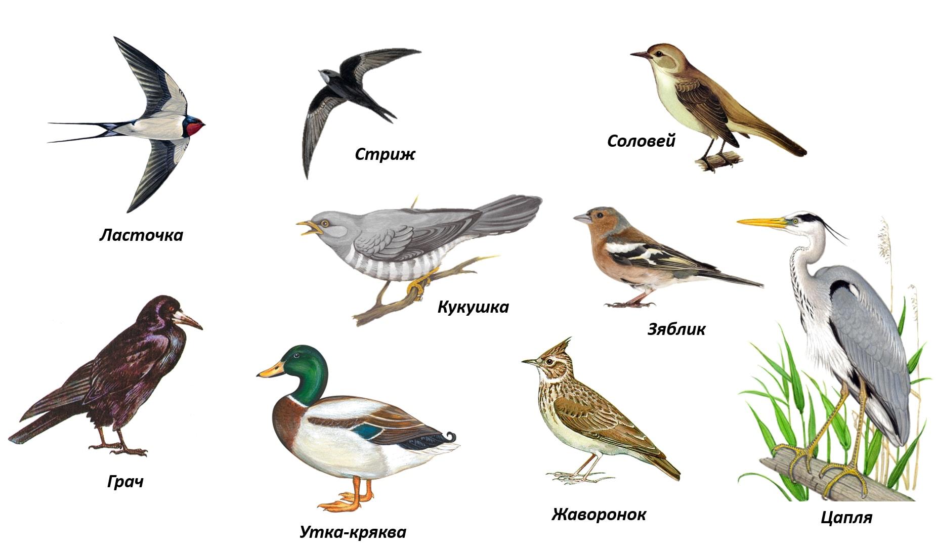 Наиболее распространенные виды перелетных птиц