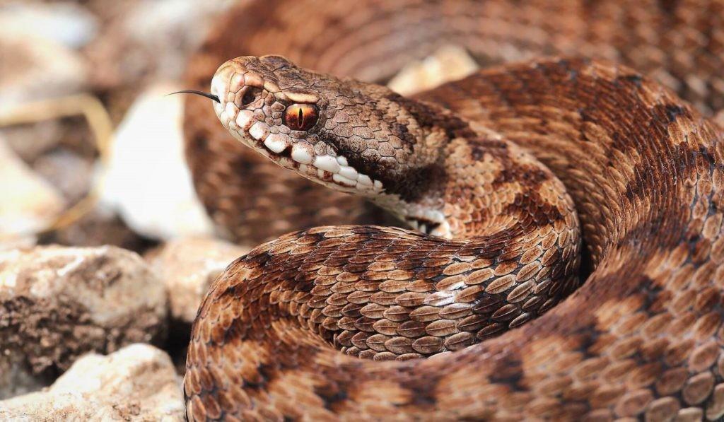 Приплюснутая голова змеи с вертикальным зрачком в глазу