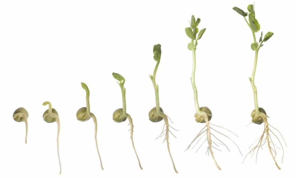 Как прорастают семена