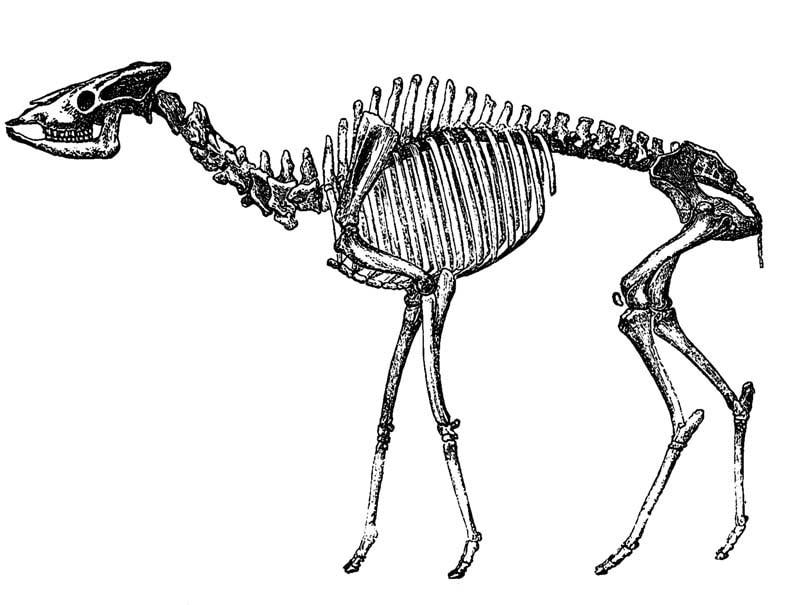 Скелет первых жирафов
