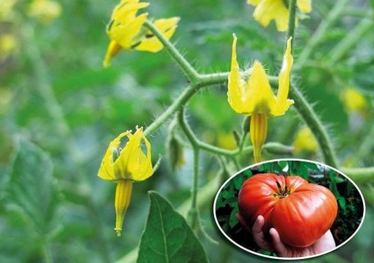 Пустоцвет на томатах