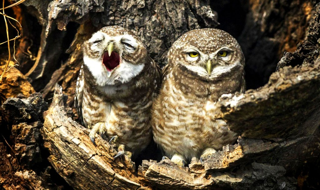 Птицы зевают по тем же причинам, что и люди
