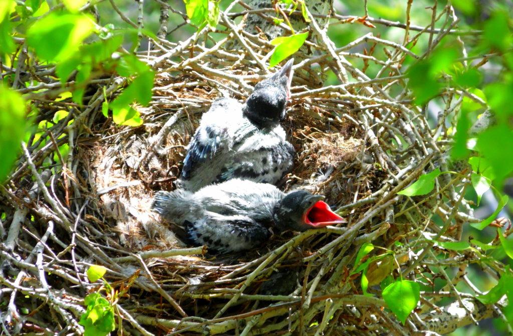 Птенцы в вороньем гнезде