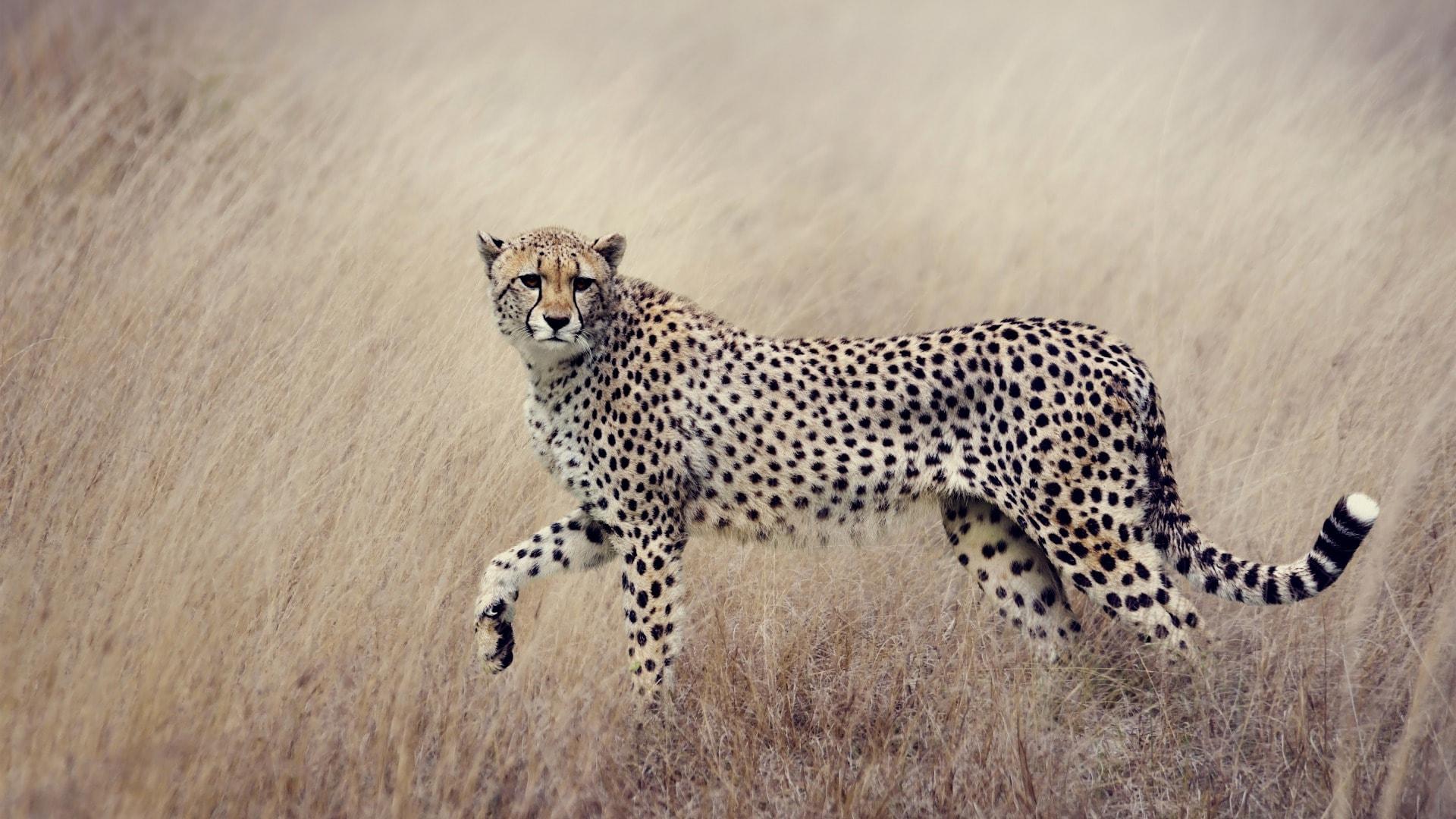 Тело гепарда покрыто черными пятнами