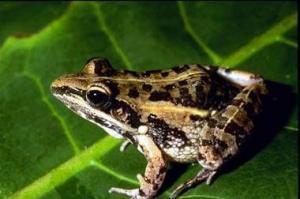 Нильская гребнистая лягушка