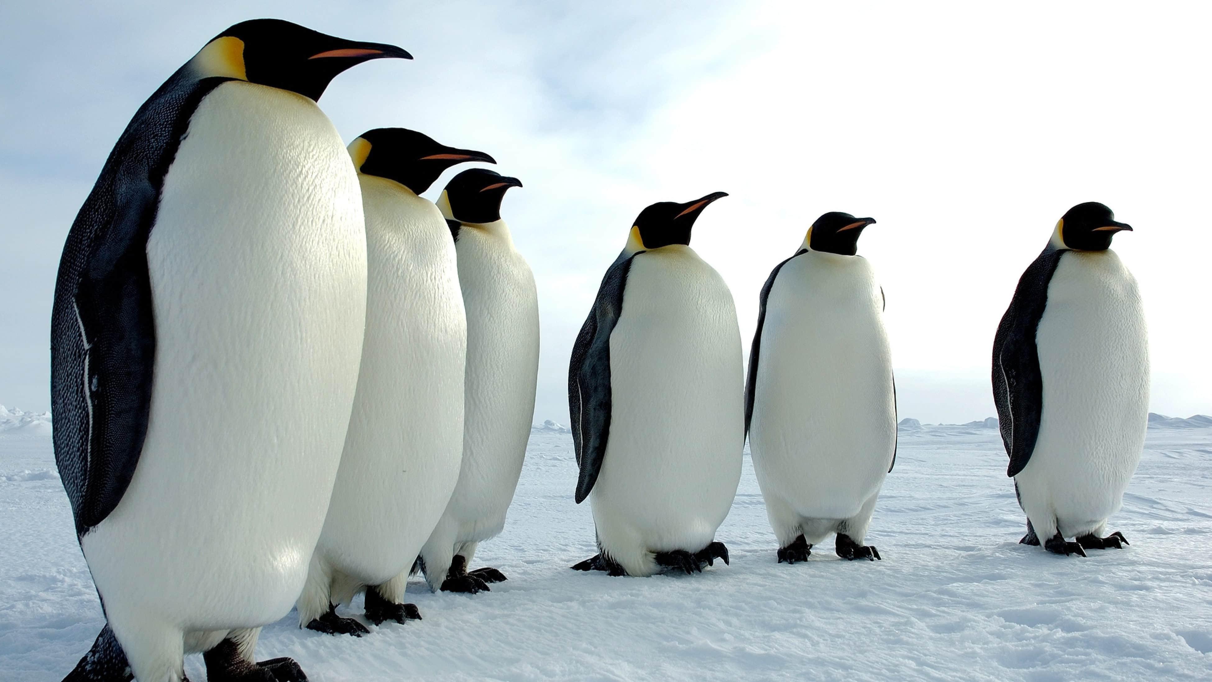 Почему у пингвинов не мерзнут ноги?