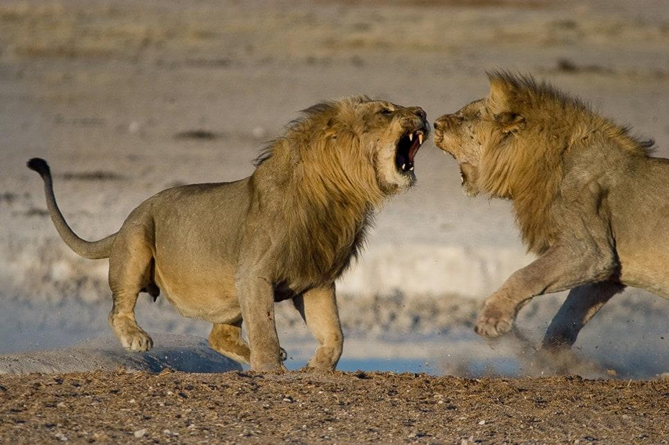 Поведение львов