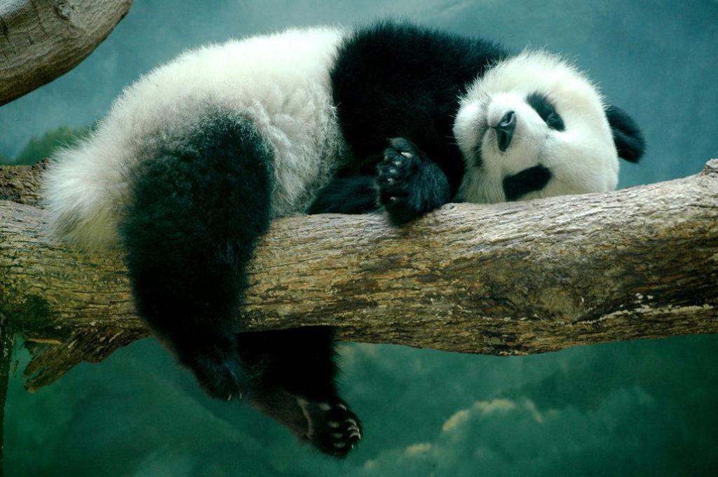 Поведение панд