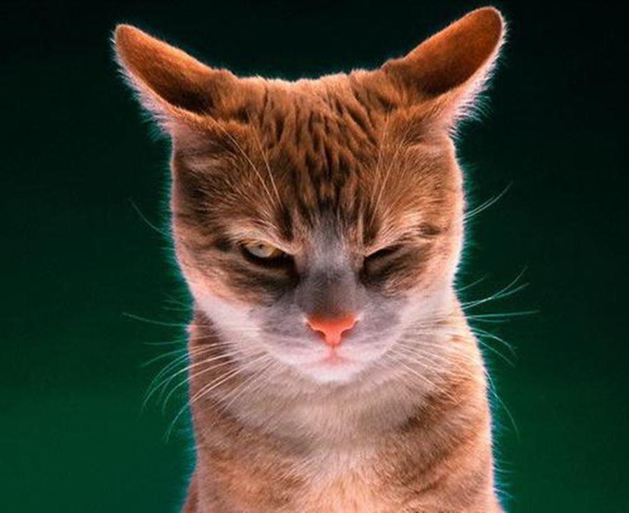 Поворот ушей у кошек
