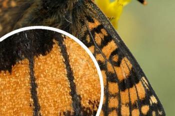 Пыльца на крыльях бабочек