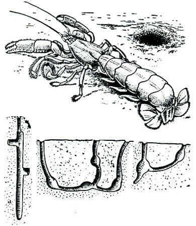 Как раки роют норы