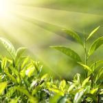 Почему растения зелёные?