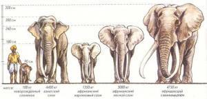 Размеры слонов