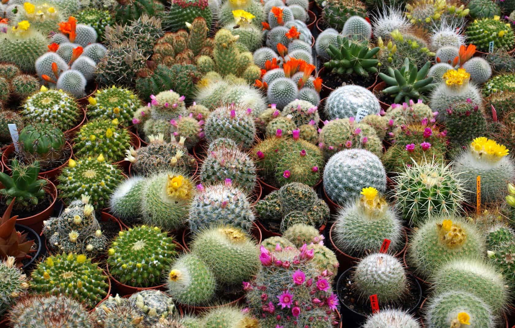 Разнообразие декоративных кактусов