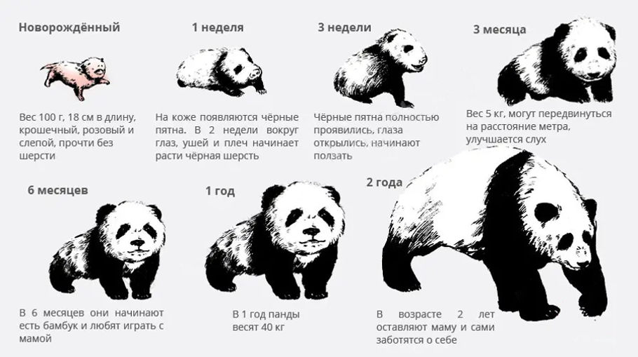 Развитие медвежат панд