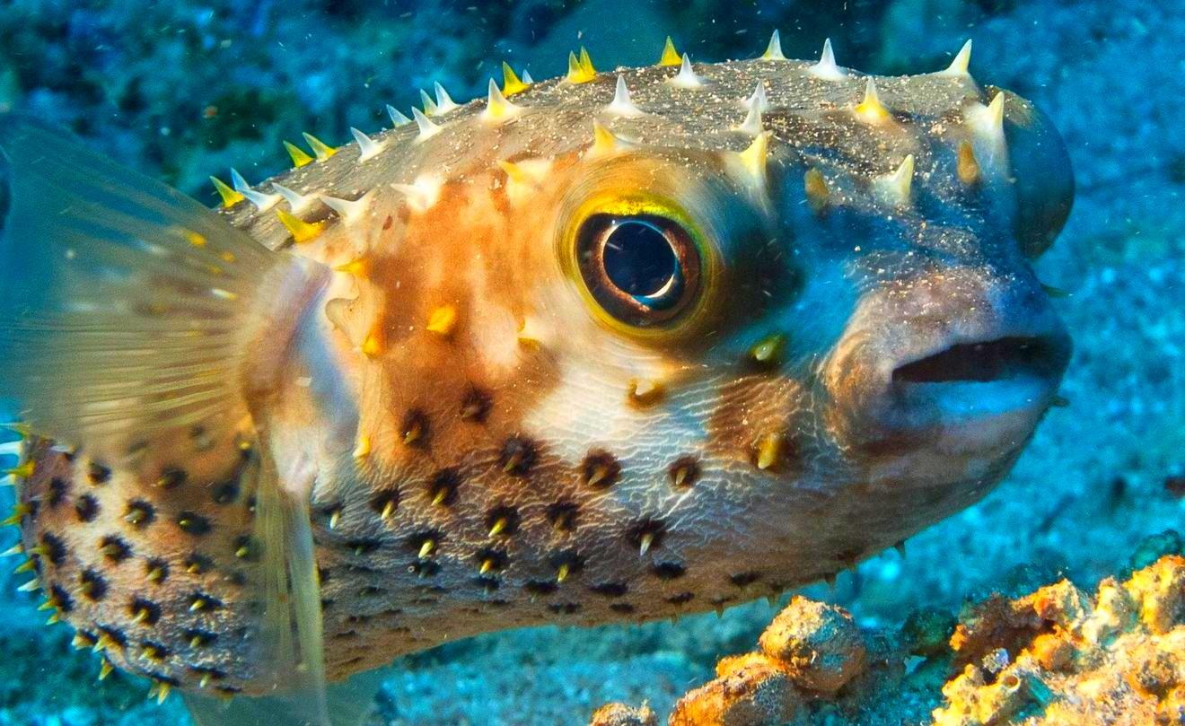 Рыба фугу: описание, виды, ареал, питание, размножение, враги, фото и видео