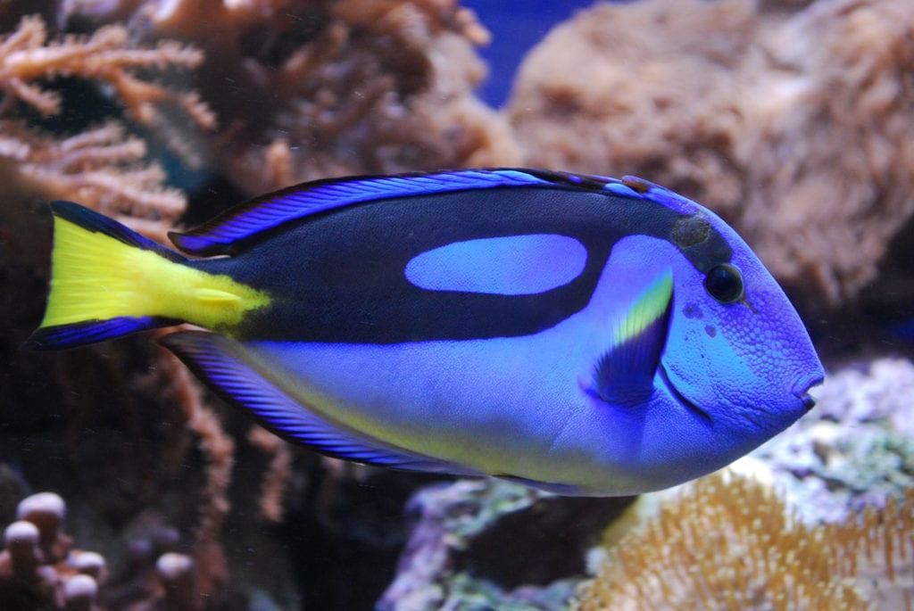 Голубой хирург (рыба)