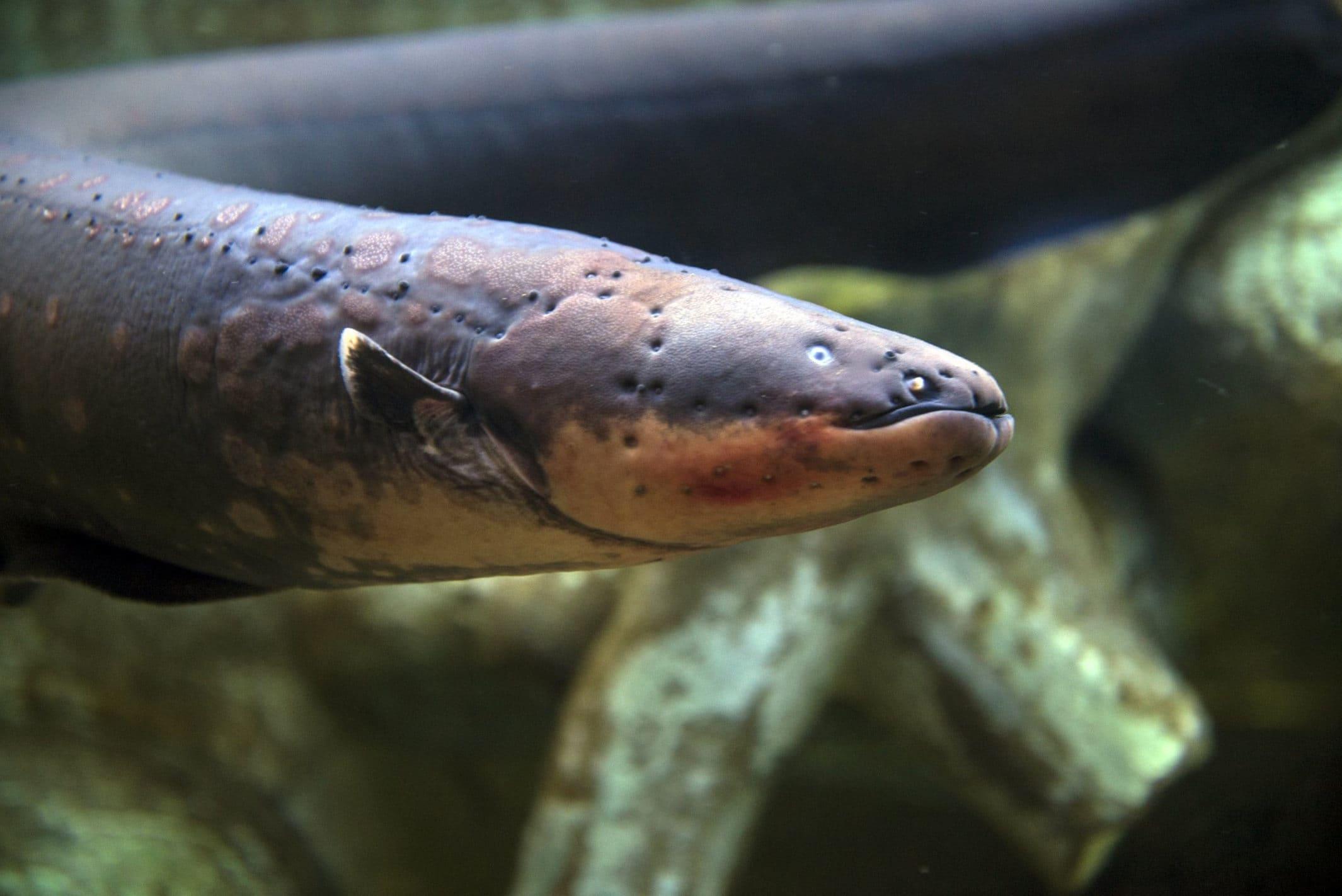 Рыбы, которые могут обходиться без воды