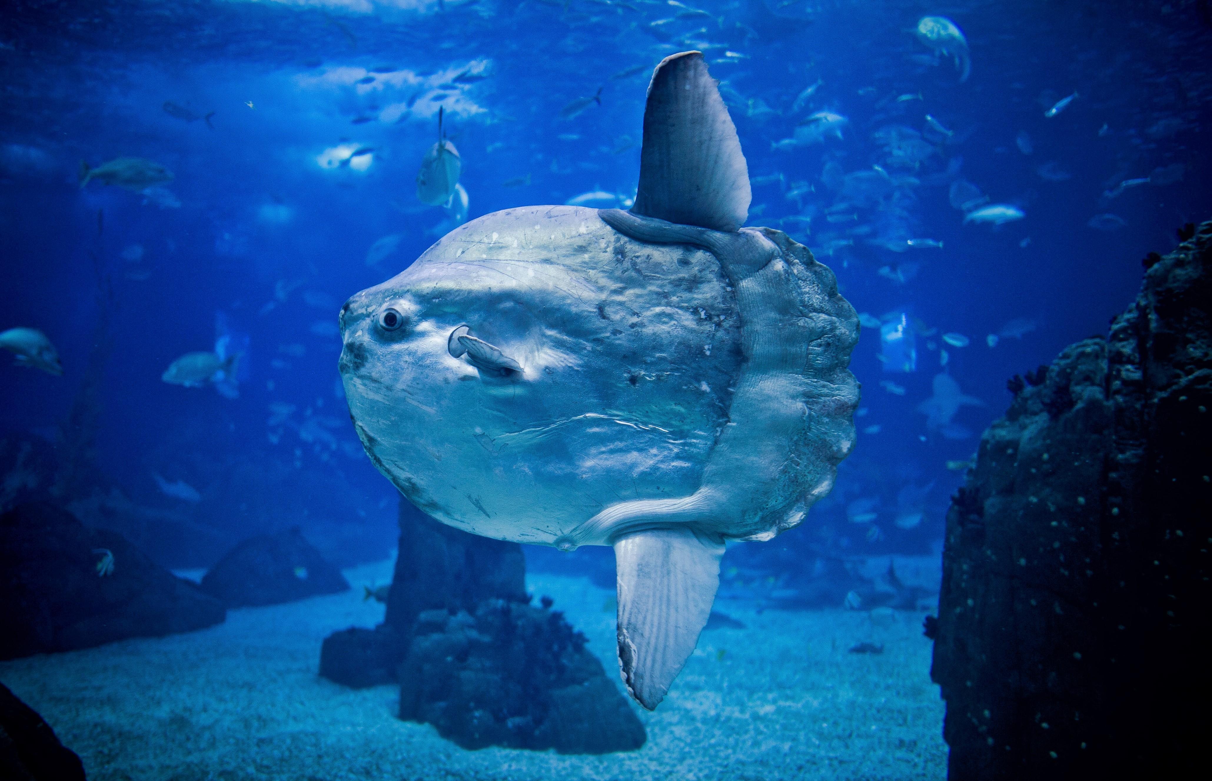 Рыба луна: описание, виды, ареал, питание, размножение, враги, фото и видео