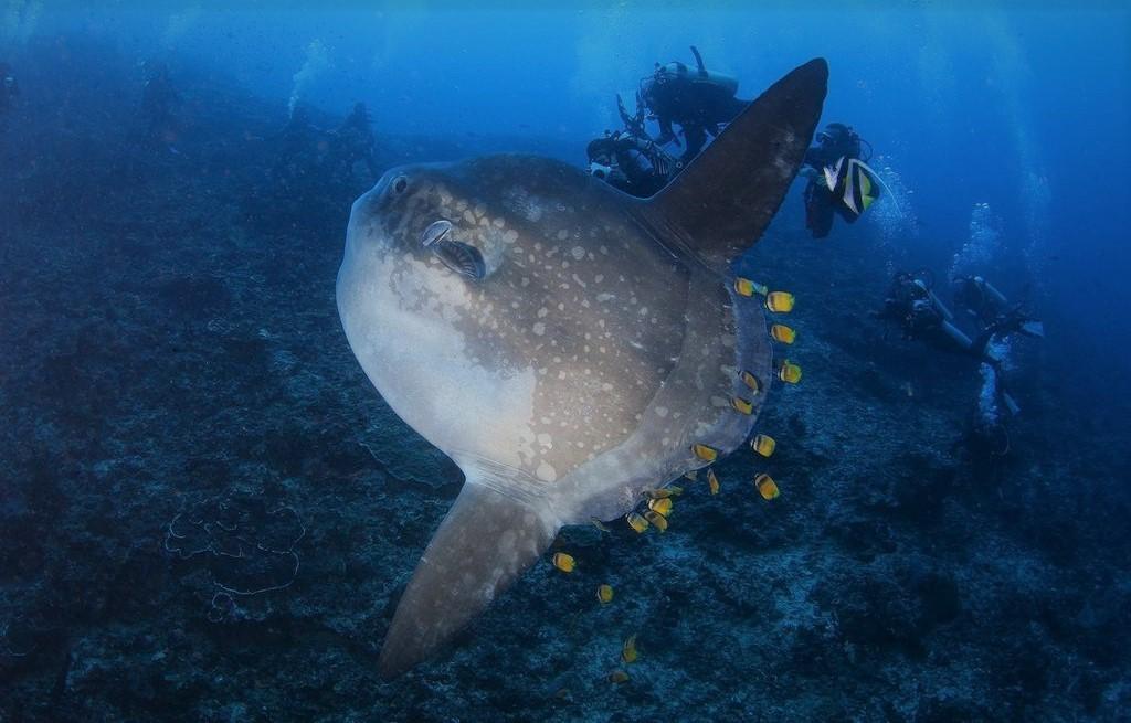 Рыба луна предпочитает жить в теплых водах на глубине в 200 м