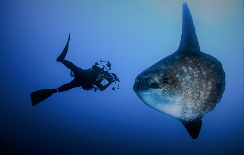 Рыба луна не боится людей и не нападает на них