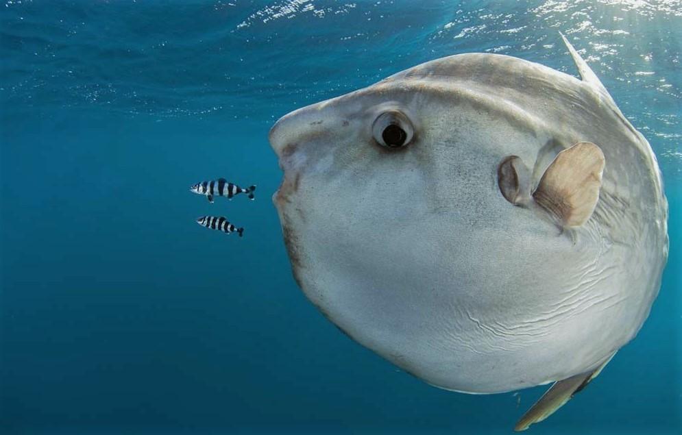 Рыба луна в момент приема пищи