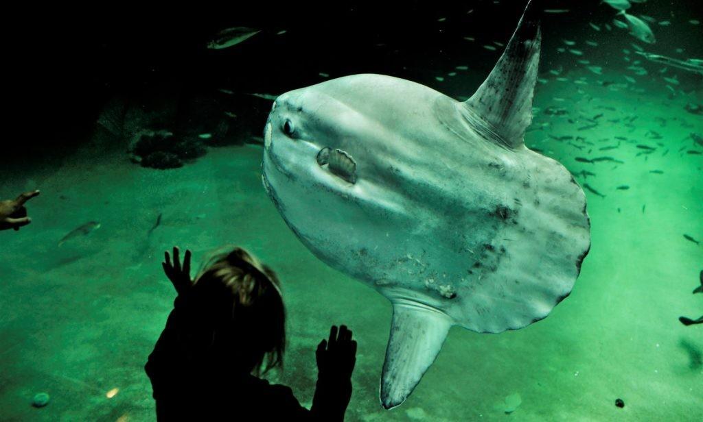 Рыба луна в искусственной среде обитания