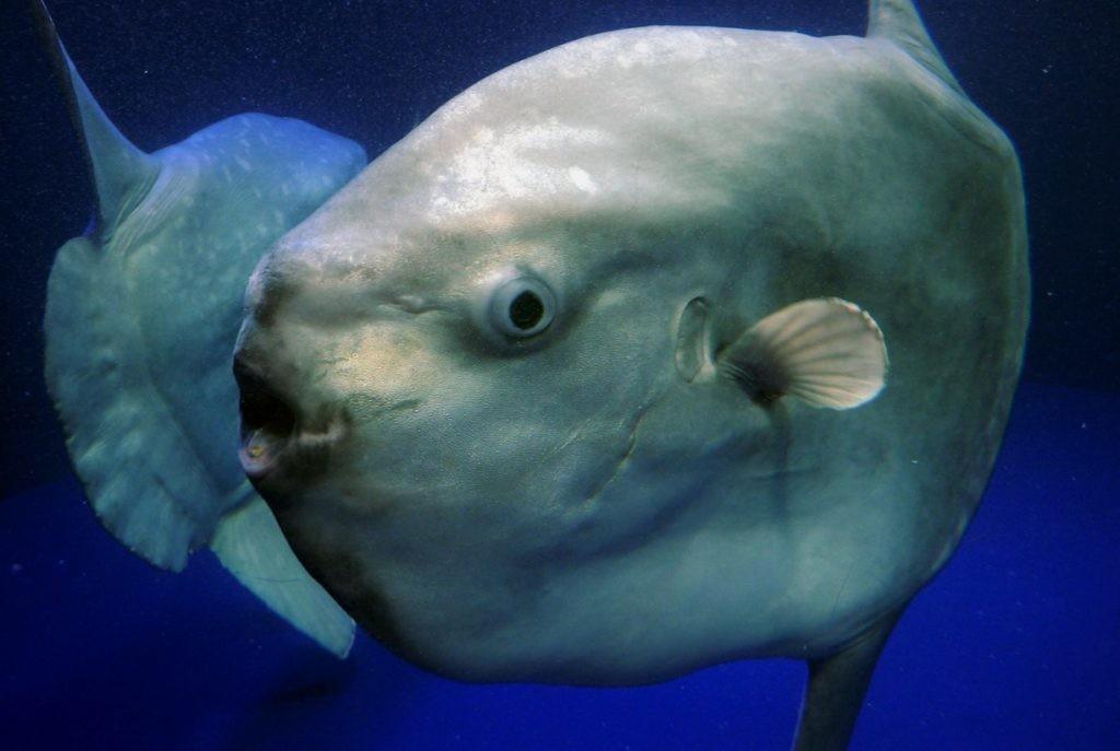 Рыба луна крупным планом