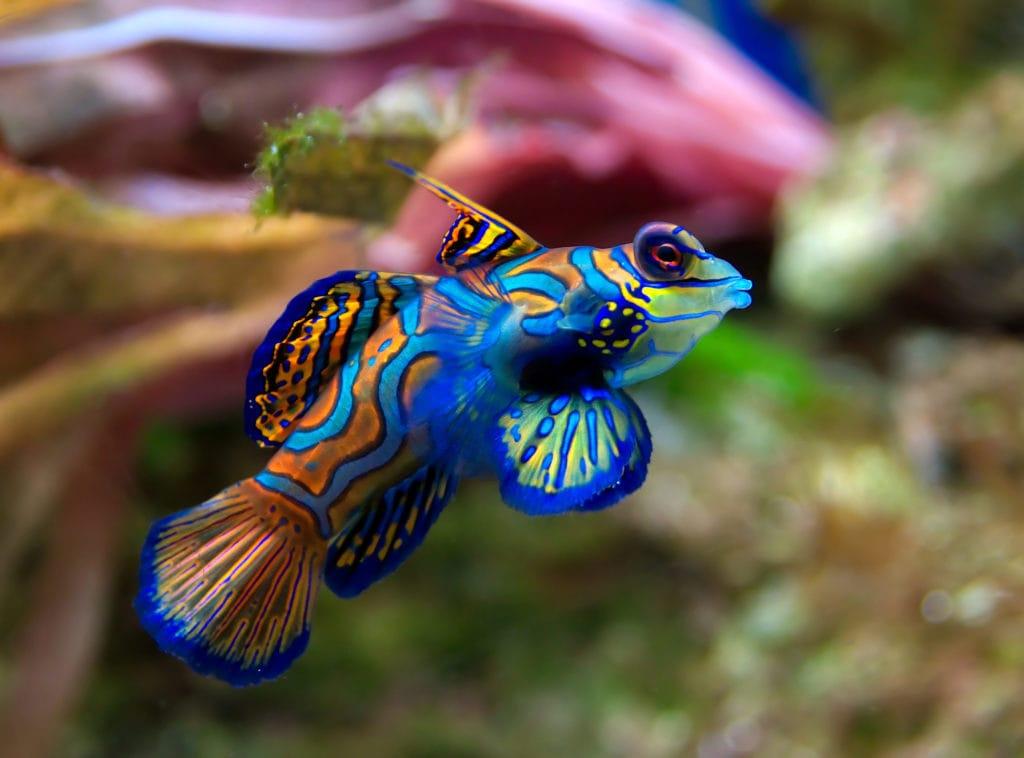 Мандаринка (рыба)