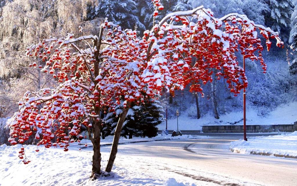 Рябина хорошо переносит холод, а ягоды могут висеть на ветвях всю зиму