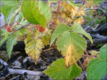 Ржавчина и хлороз малины