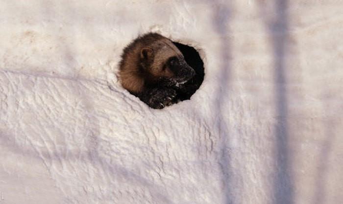 Росомаха в снежной норе