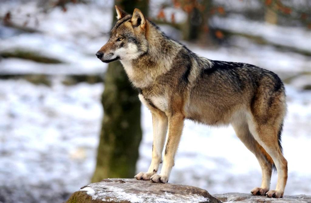 Волк в полный рост