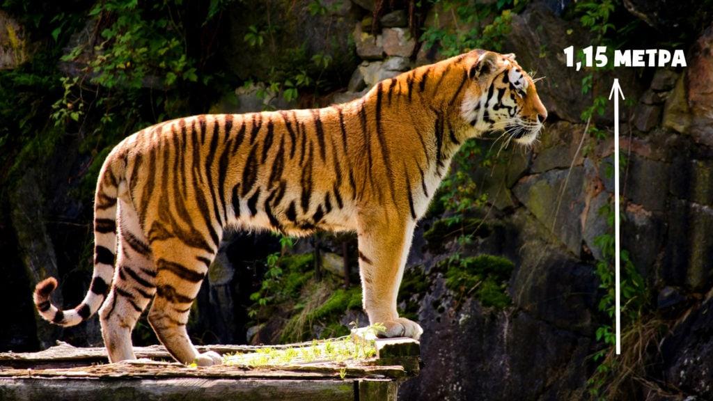 Рост тигра