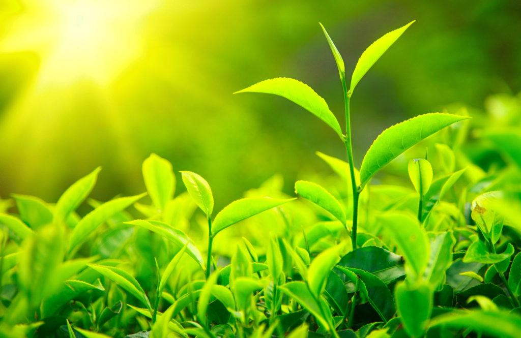 Растения - основной компонент биомассы
