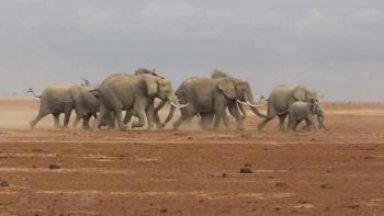 Бег слонов