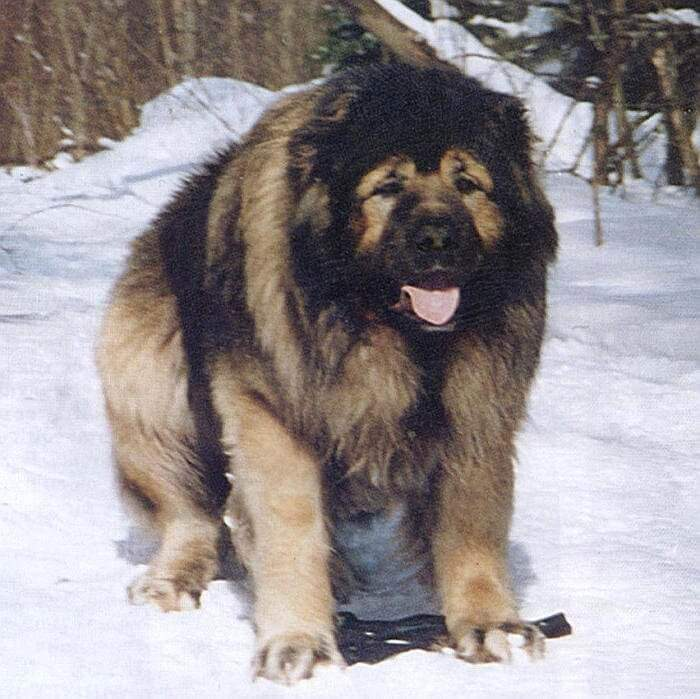 Русский волкодав