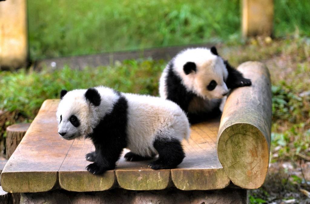 Медвежата панд