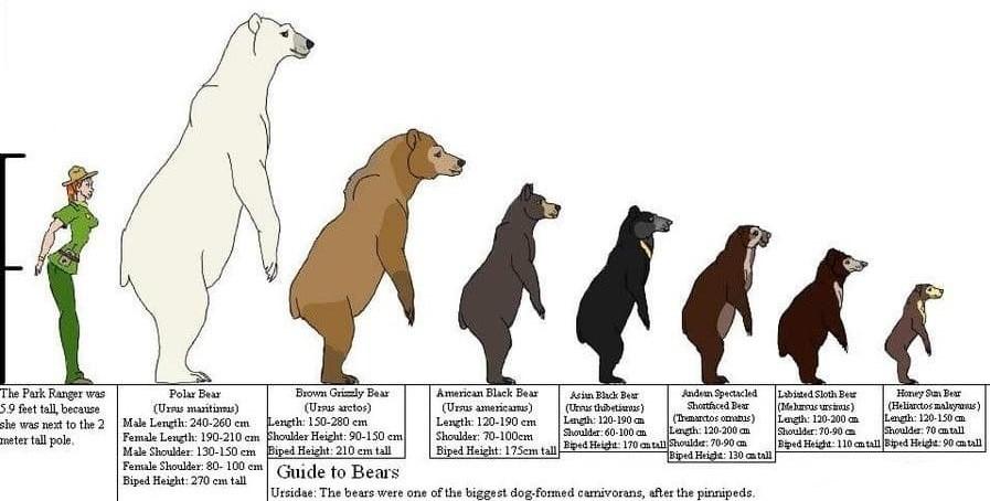 Сравнение размеров разных видов медведей