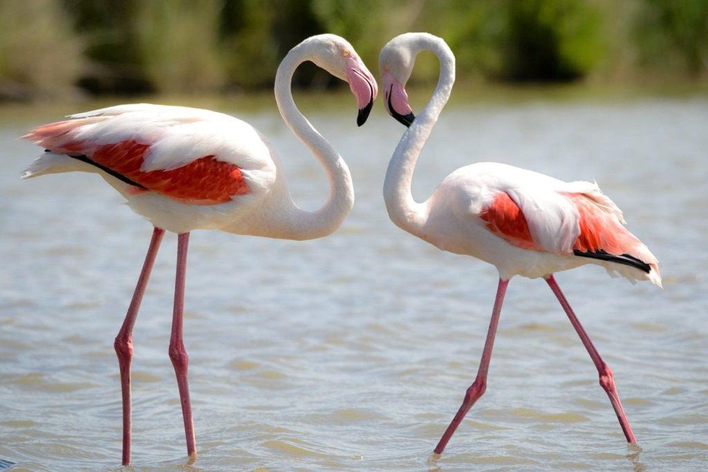 Разная интенсивность окраса у фламинго