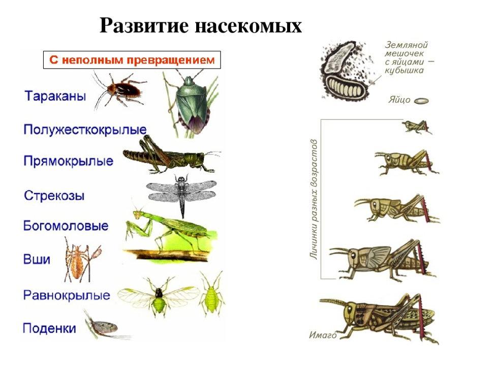 Развитие и рост насекомых