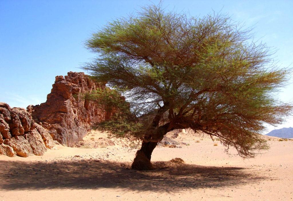 Пустынное дерево - саксаул