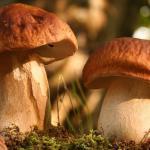 Самые полезные грибы