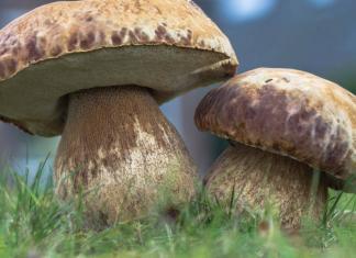 Самые съедобные грибы