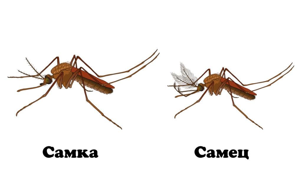 Отличия между самкой и самцом комара