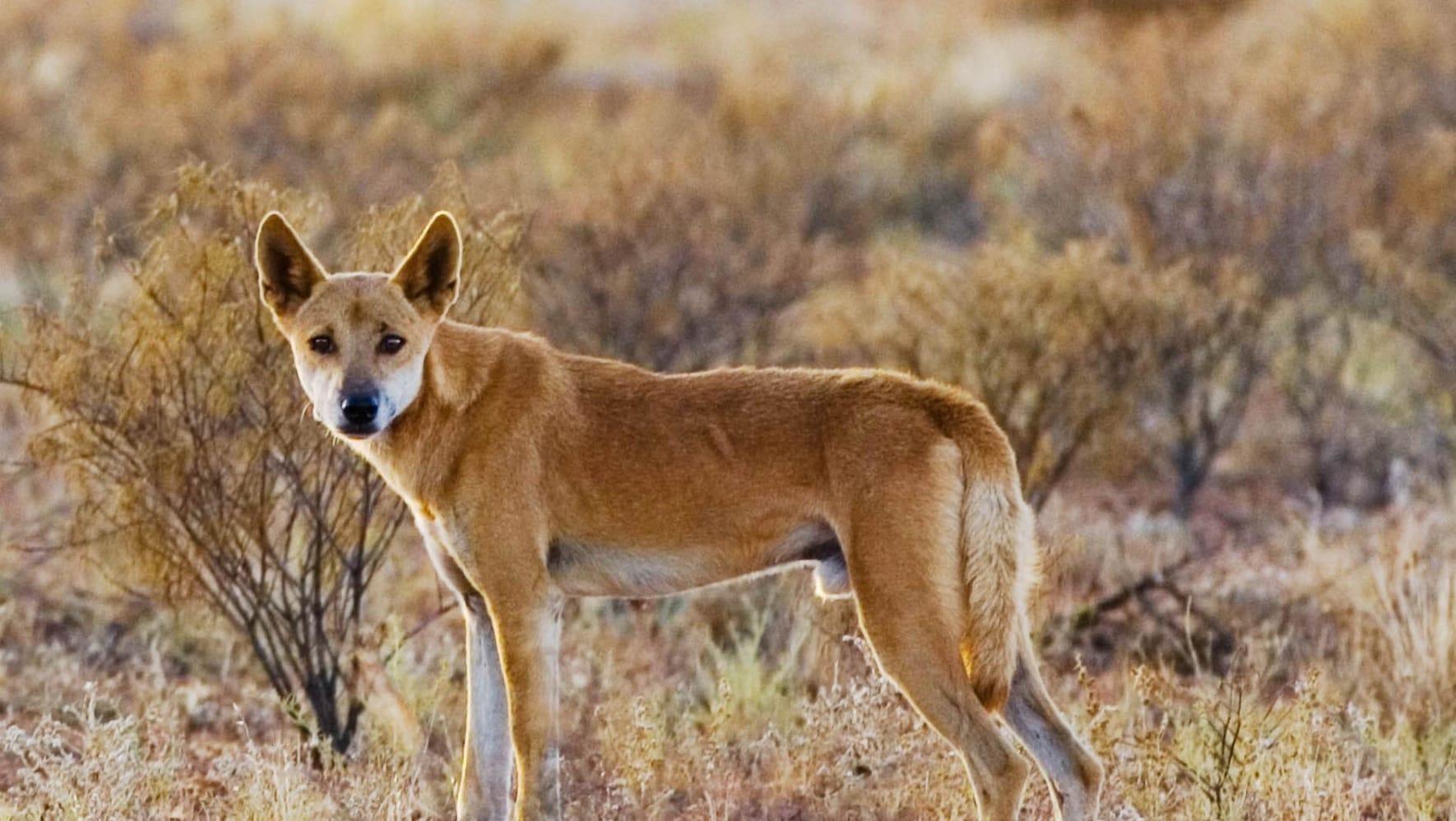 Собаки Динго - главные враги коал
