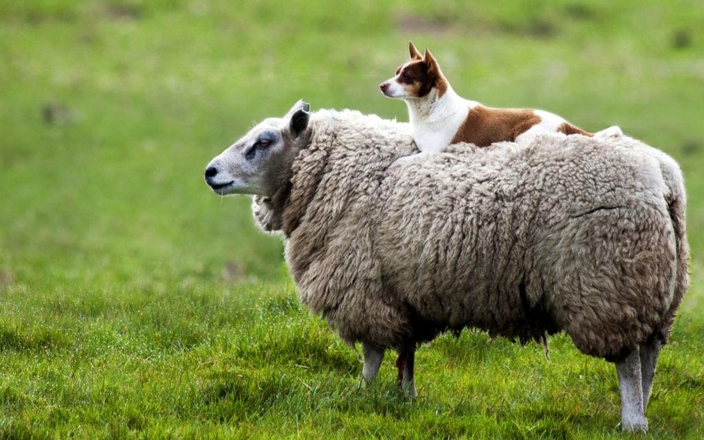Собаки и овцы - первые одомашненные животные